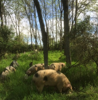 pigs-in-the-woods-large